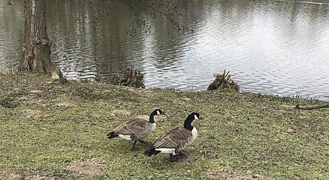 Ördeklerde kurallara uymuş gibiydiler...